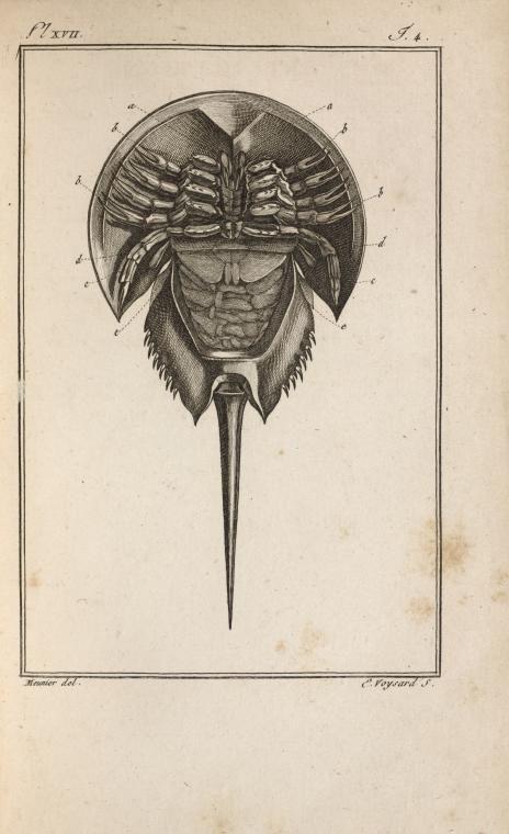 Le limule des Moluques, réduit, vu en dessous. From New York Public Library Digital Collections.