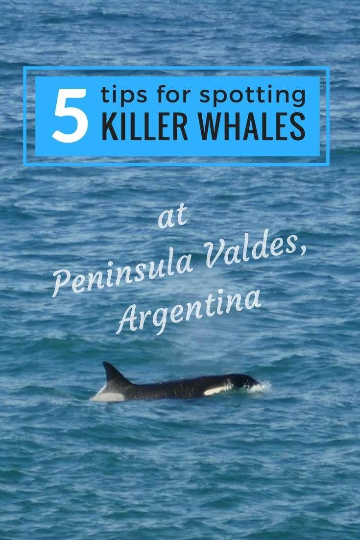 5 tips to spot killer whales pinterest