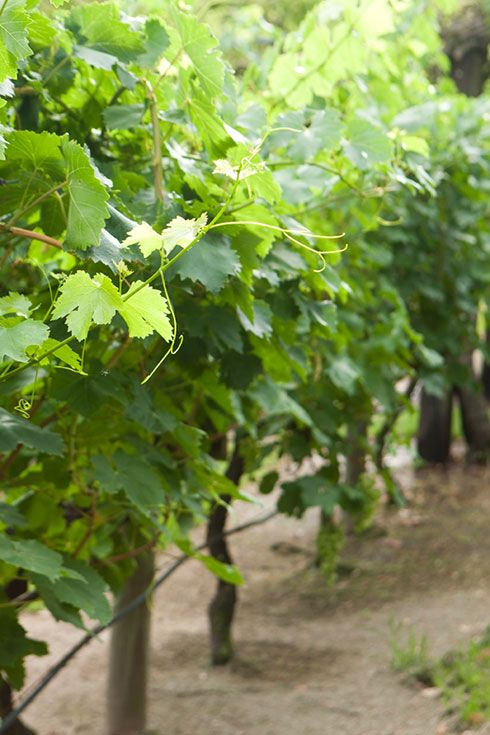 best 25  grape vine plant ideas on pinterest