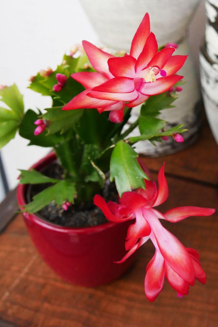 Weihnachtskaktus Twin Weihnachtskaktus Kaktus Pflanzen