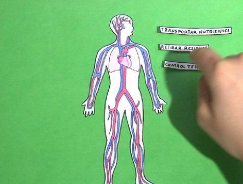 El corazón forma parte del aparato circulatorio y es uno de los órganos más improtantes del cuerpo humano.