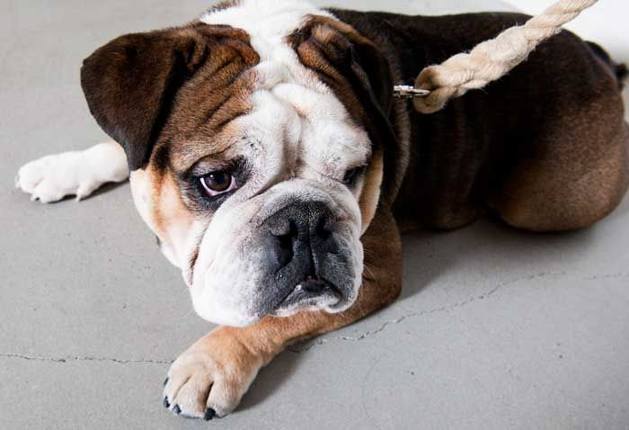 Lovely bulldog wearing the handmade Tails Division dog leash!