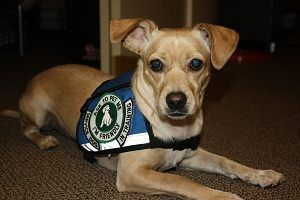 How To Become A Service Dog Trainer - http://pets-ok.com/how-to-become-a-service-dog-trainer-dogs-5553.html