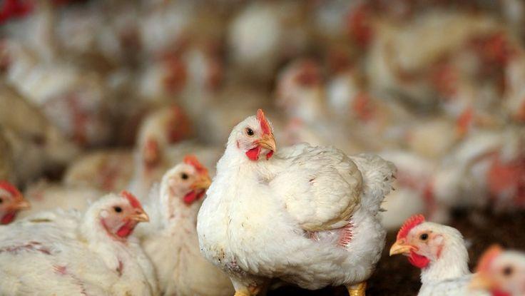 A previsão é da ABPA, que também projeta um aumento entre 2% a 3% na oferta de carne suína