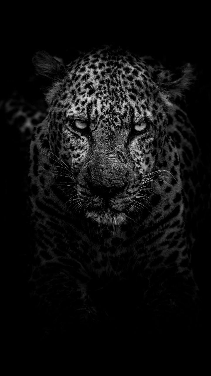 Leopard Dark Monochrome Predator 720x1280 Wallpaper With