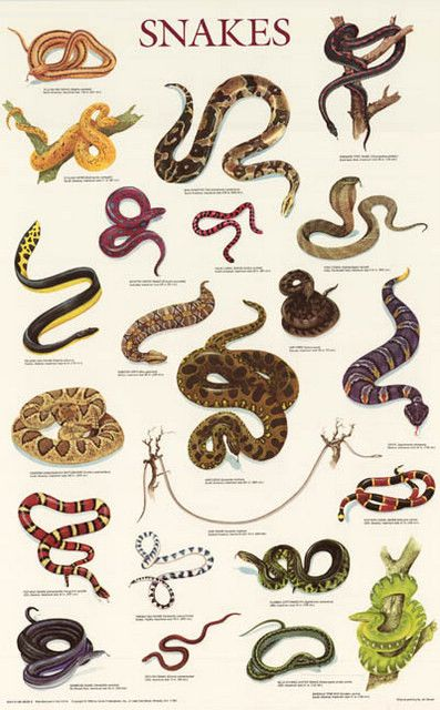 A fantastic poster of colorful illustrations of various Snake species, both common and rare! Perfect for pet stores. Fully licensed. Ships fast. 21x33 inches. Need Poster Mounts..? bm7757