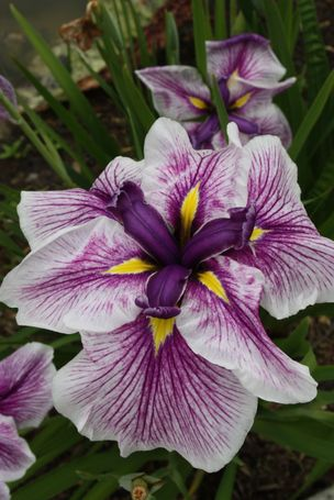 Iris ensata 'Flashing Koi' (M. Hager 78)