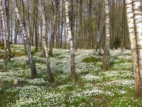 Wood anemone carpet, Swedish forest in springtime