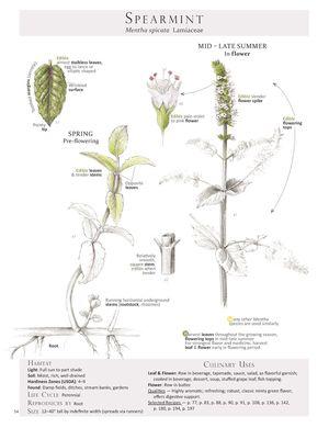 Spearmint-Mentha spicata.jpg