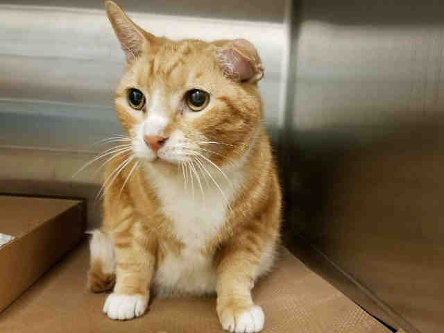 """HONEYBUN - A1120063 - - Manhattan  *** TO BE DESTROYED 07/31/17 *** 15 year old Honeybun was surrendered to the shelter for """"cost"""".  Please help this senior boy have a """"priceless"""" retirement home!  Lived with a Rottie, chihuahua and other cats! -  Click for info & Current Status: http://nyccats.urgentpodr.org/honeybun-a1120063/"""