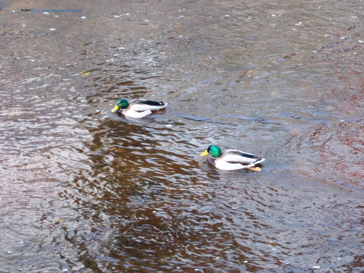 Lazy ducks