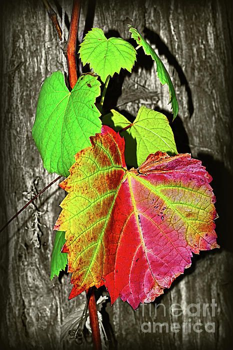 #Wild #Grape_Vine II by #Kaye_Menner #Photography Quality Prints Cards Products at: http://kaye-menner.pixels.com/featured/wild-grape-vine-ii-by-kaye-menner-kaye-menner.html