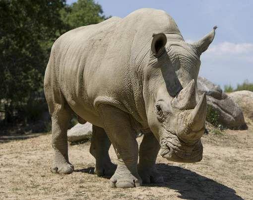 Stropers dringen Franse zoo binnen, doden neushoorn en snijden hoorn af met kettingzaag - HLN.be