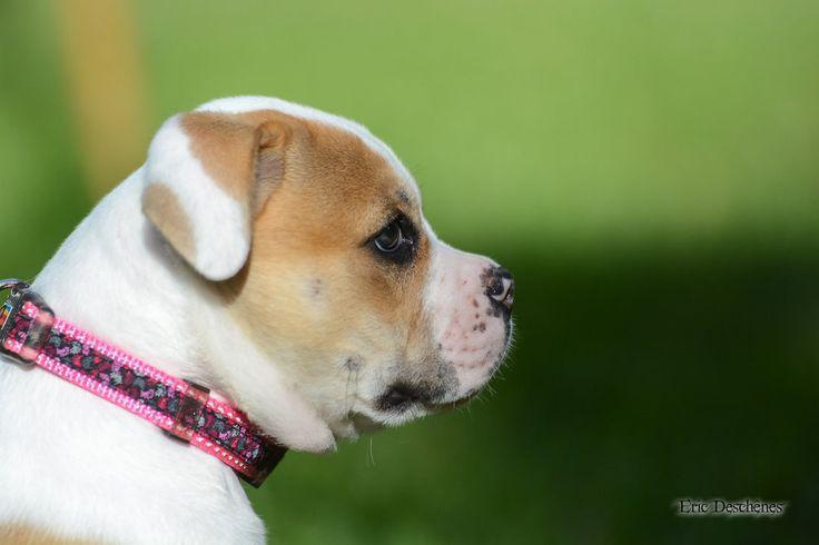 Luna , American Bulldog by Lessprit.deviantart.com on @DeviantArt