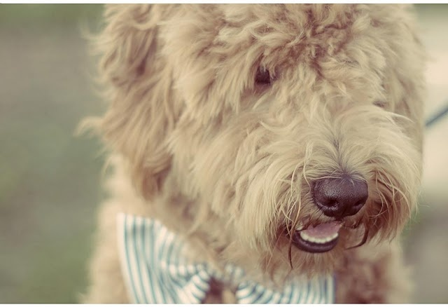 Golden Doodle Dog with a Bow Tie...sister this is for you!  You need to do this with marley only put a bow on her head!!