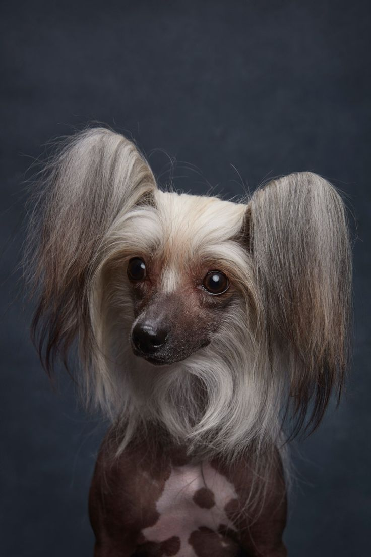 Chinese dog herbal therapy - Chinese Crested By Ty Foster