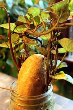 Grow your own sweet potato plants to plant in your garden this spring. Start 2 months before you put in garden.