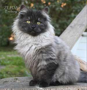 Black Smoke - Siberian cat