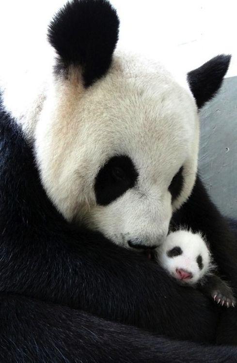 Pandas - Animal -> Por: Angel Catalán Rocher! CLICK -> pinterest.com/AngelCatalan20/boards/ <- Sígueme!