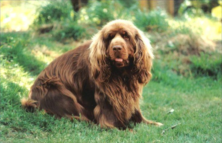 Sussex Spaniel - dream dog.