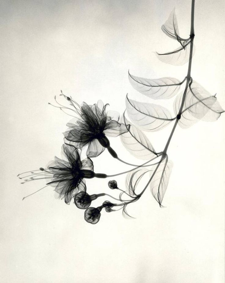 X-Ray Flower Photographs from the 1930s – Fubiz Media