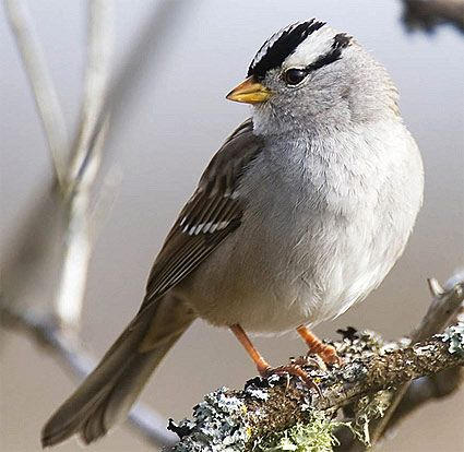 """White-crowned Sparrow. Spotted several of these at the """"No Name"""" rest stop in Colorado in 2011."""