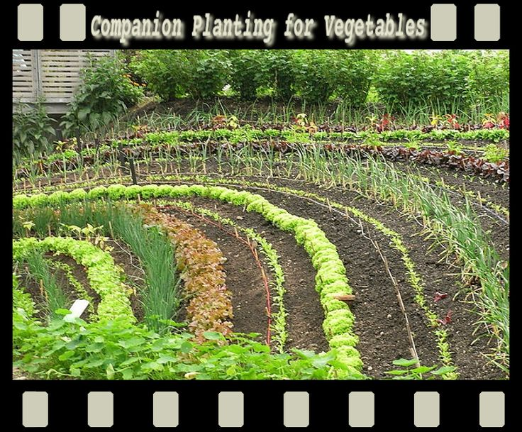 Best Companion Planting Images On   Gardening