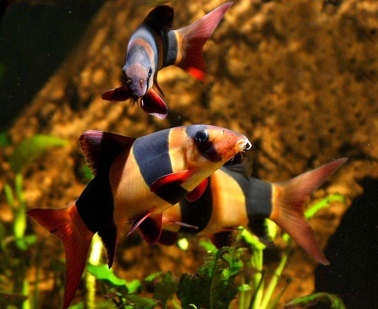 Especies de peces de agua dulce, Algas que comen pescado
