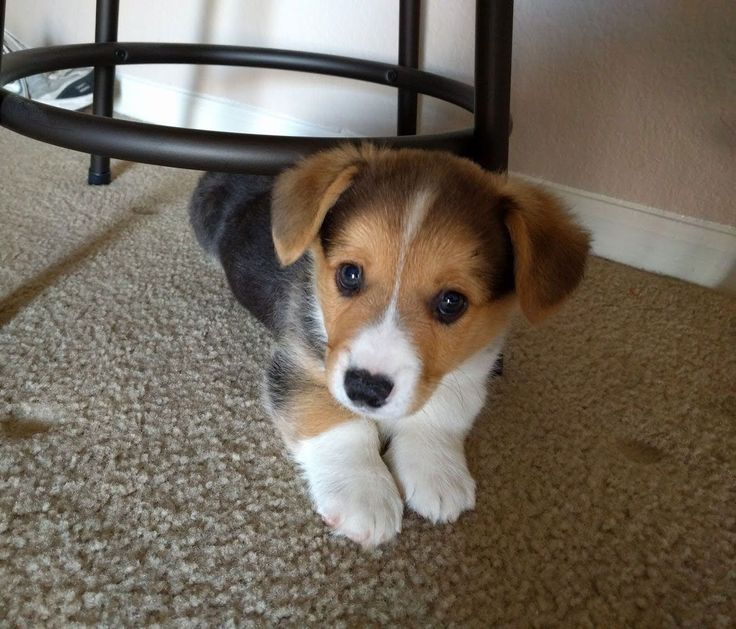 That's the smallest bundle of cute Beagle Corgi mix puppy