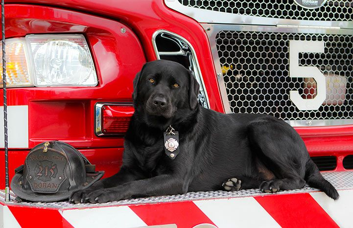 Lab Rescued From Shelter Giving Back As Firehouse Dog Dog