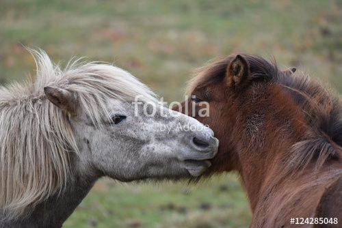 """Download the royalty-free photo """"Icelandic Horses, Ostergotland, Sweden"""" created by Ciaobucarest at the lowest price on Fotolia.com. Browse our cheap image bank online to find the perfect stock photo for your marketing projects!"""