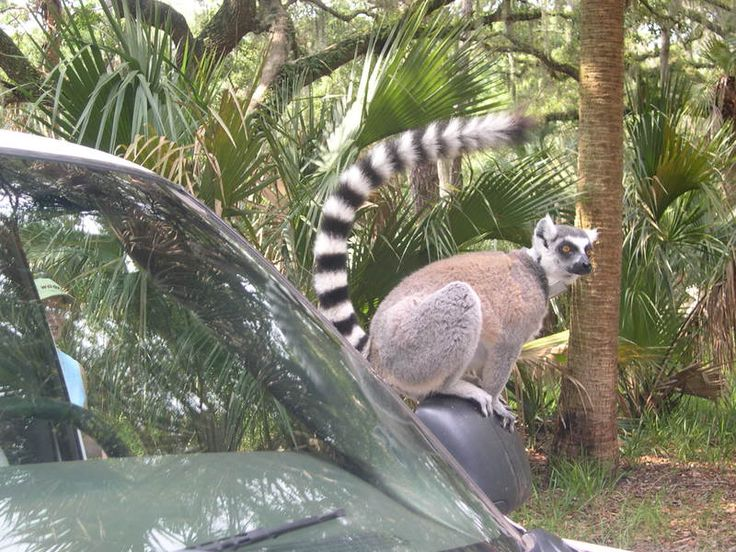 St Catherines Island Ga Lemurs