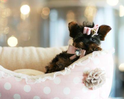Sweet Yorkie Puppy