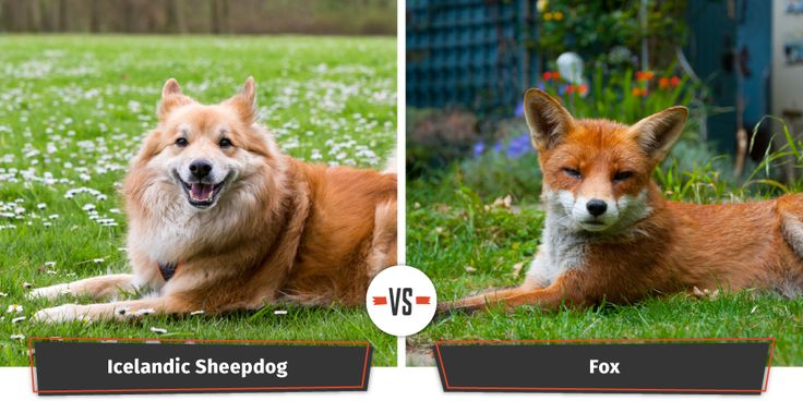 The Icelandic Sheepdog is another variety of spitz dog that has an uncanny resemblance to a crafty fox. In the Sheepdog's native Iceland, this dog that looks like a fox can be found hard at work — herding sheep. This breed is relatively rare in the United States, but brings their human undivided love, cheerfulness, and enthusiasm.