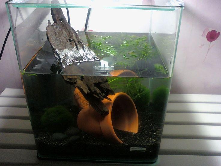 aquarium pour 2 cynops orientalis