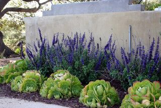 William Joyce Design Southern California Vineyard - contemporary - landscape - san diego - by William Joyce Design.   William Joyce Design	 Hi, thanks for your inquiry...the purple flowering plant is a Salvia and the green succulent is an Aeonium. The Aeonium would do fine in partial shade, but the Salvia prefers sun.
