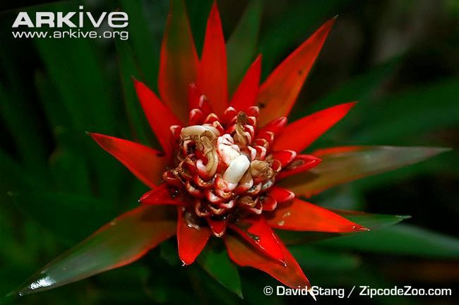 Guzmania videos, photos and facts - Guzmania izkoi | ARKive