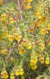 Hermannia cuneifolia -healing wounds