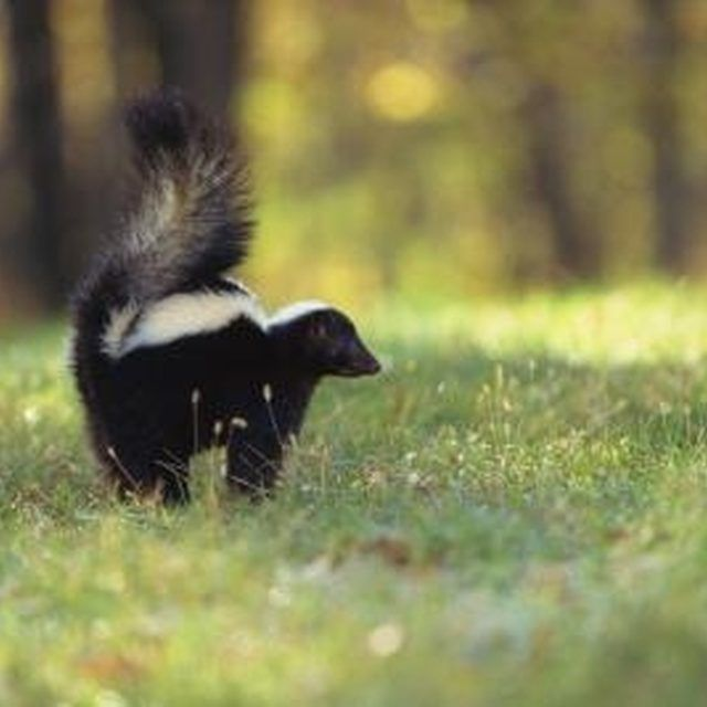 How To Get Rid Of Skunks | Skunk removal, Skunk smell ...