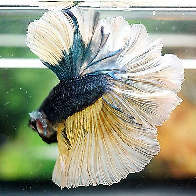 85 Best Images About Wild Kingdom Siamese Fighting Fish