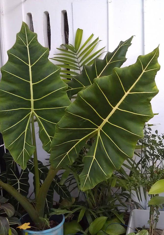 Alocasia sarian - Plantas de Follaje Verde.