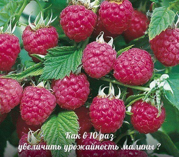 Как получать супер-урожаи малины, смородины, крыжовника, вишни? | Дачный сад и огород