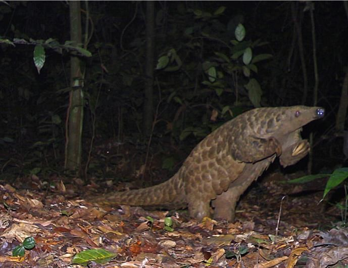 Animal Portraits commended: Giant pangolin by Laila Bahaa-el-din/Panthera/WildCRU, Gabon.  - © Laila Bahaa-el-din/Panthera