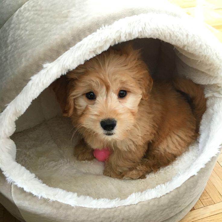 Mini golden doodle puppy love - Mini Winnie Gram