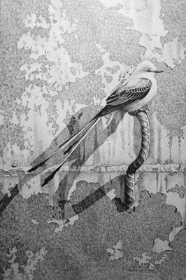 Work In Progress Scissor Tailed Flycatcher Temporary Title Another One Ready For Paint Find This Pin And More On Lets Make An OKC Coloring Book