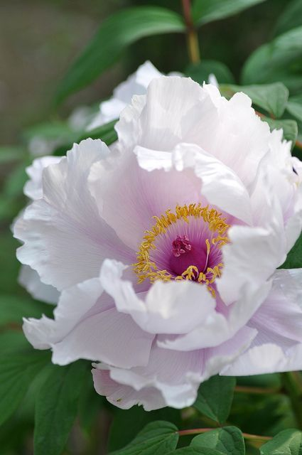 white peony with a magenta & yellow center