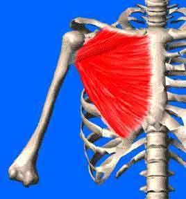 Le grand #pectoral est un volumineux muscle dont le tendon s'attache sur le quart supérieur de l'humérus http://entrainement-sportif.fr/musculation-pectoraux.htm.