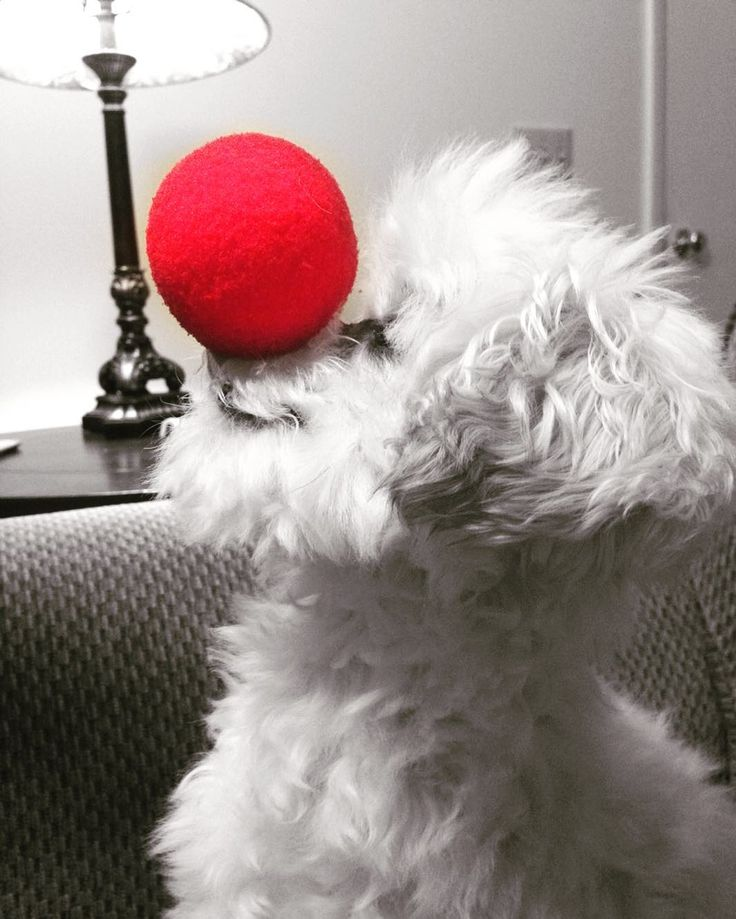 Red Nose Day 2016  #rednoseday #rnd2016 #dogsofig #dogs #maltipoonation #littlewhitedog #bandit #maltipoo #maltipoosofinstagram #maltipoolovers #maltipoolove #maltipoosofig #dailybarker #lacyandpaws #adorable #adoringpets #barkpost #instapic #instacute #cutiepie #dogsofinstagram #dogstagram by bandithasmyheart