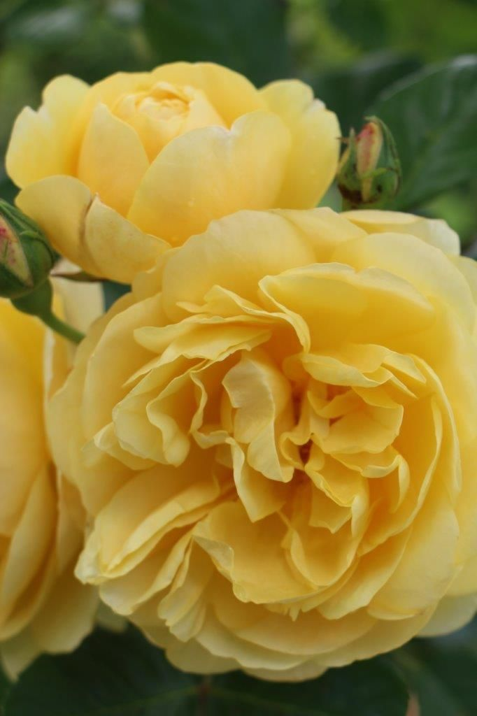 (C3) Climbing Rose 'Graham Thomas' bred by David Austin Medium-sized, cup-shaped flowers of an unusually rich and pure yellow that is hard to match in any other roses. A vigorous, upright variety that makes a particularly good climber, both in beauty and performance.  The fragrance is fresh tea rose with a cool violet character. It was awarded the Henry Edland medal for fragrance in 2000.  Ideal when grown on a wall where it will repeat flower in several flushes. 6 - 12ft as a climber.