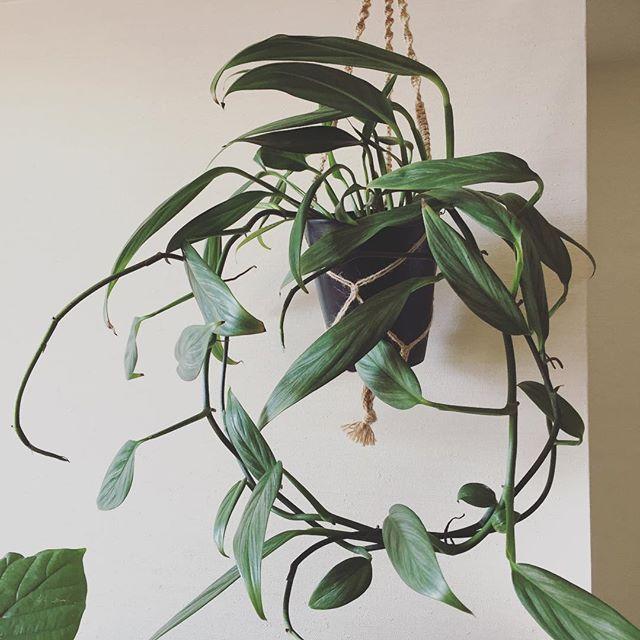 恐ろしく伸びた蔓が邪魔すぎたので絡めてやったらリースっぽくなった。 なんか丸ってめでたい感じ。 #rhaphidophora #rhaphidophoraexoticplatinumleaf #wreath  #ring #ラフィドフォラ #ラフィドフォラプラチナリーフ #リース #輪っか #green #plants #plantlife #plantlove #plantstagram #indoorgarden #indoorplants #houseplants #植物 #植物のある暮らし #インテリアグリーン